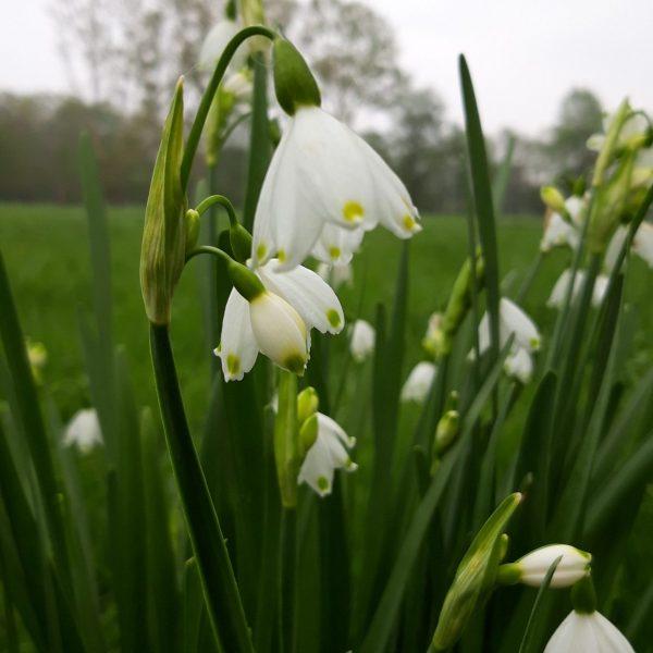 Amélioration de la connaissance écologique - Nivéole de printemps (Leucojum vernum)