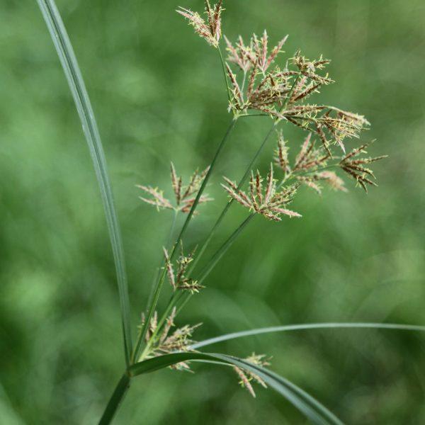 Souchet long (Cyperus longus)