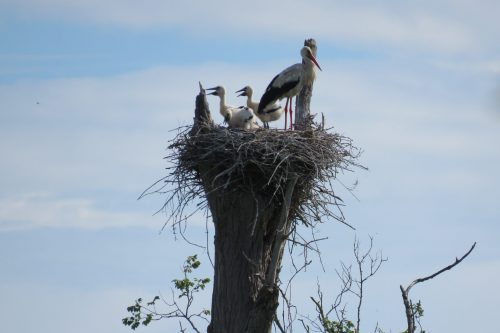 Stratégie d'intervention foncière - Cigogne blanche (Ciconi ciconia)